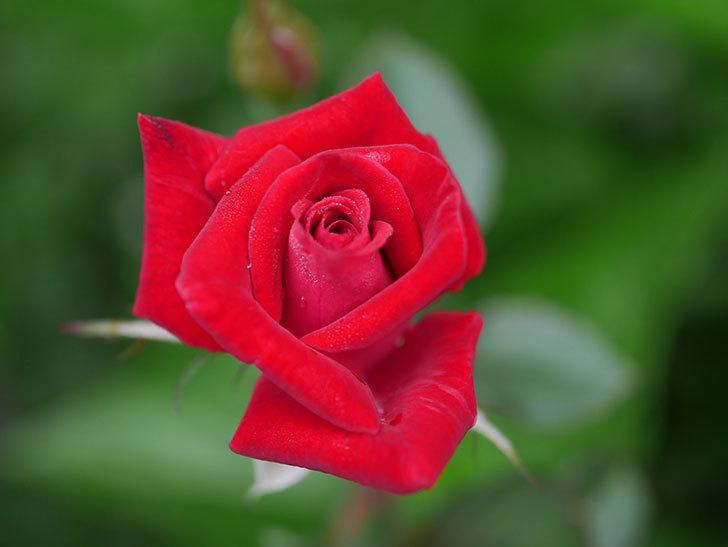 カリエンテ(Caliente)の2番花が増えてきた。ミニバラ。2020年-008.jpg