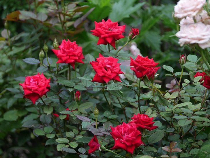 カリエンテ(Caliente)の2番花が増えてきた。ミニバラ。2020年-009.jpg