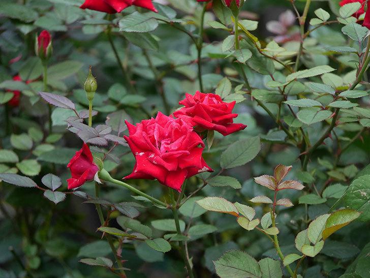 カリエンテ(Caliente)の2番花が増えてきた。ミニバラ。2020年-010.jpg