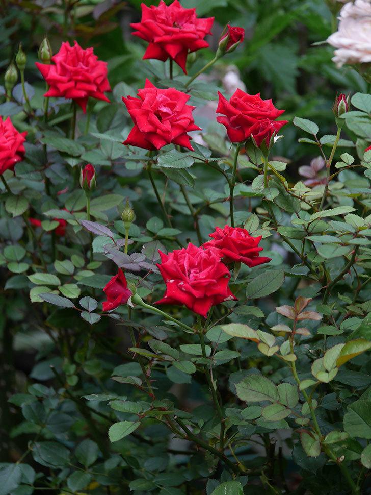 カリエンテ(Caliente)の2番花が増えてきた。ミニバラ。2020年-012.jpg
