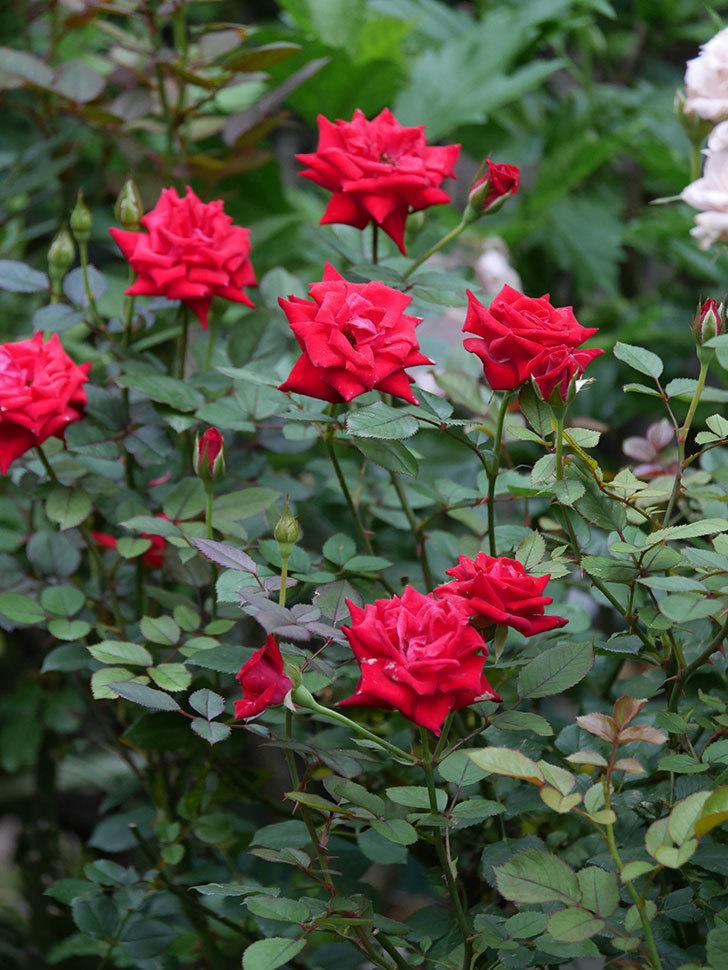 カリエンテ(Caliente)の2番花が増えてきた。ミニバラ。2020年-013.jpg