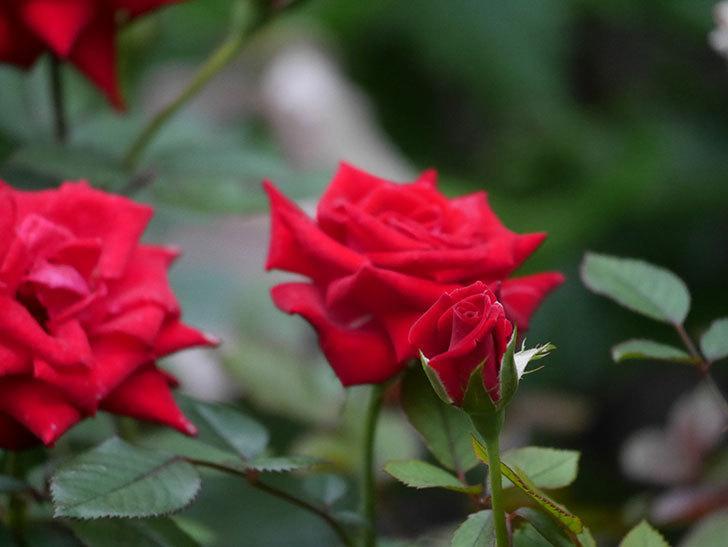 カリエンテ(Caliente)の2番花が増えてきた。ミニバラ。2020年-017.jpg