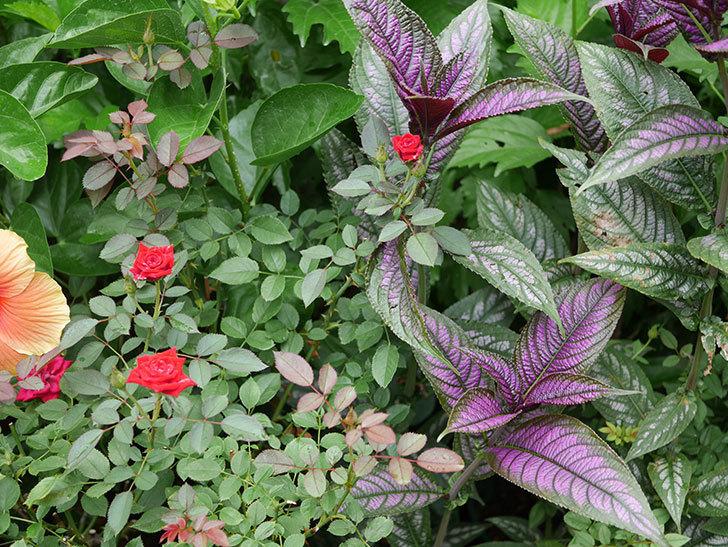 カリエンテ(Caliente)の夏花がまた咲いた。ミニバラ。2020年-001.jpg
