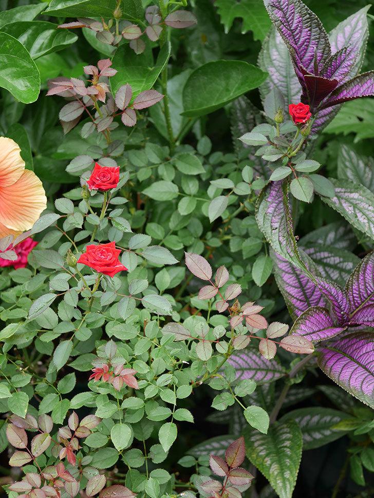 カリエンテ(Caliente)の夏花がまた咲いた。ミニバラ。2020年-002.jpg