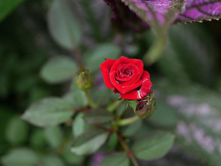 カリエンテ(Caliente)の夏花がまた咲いた。ミニバラ。2020年-007.jpg