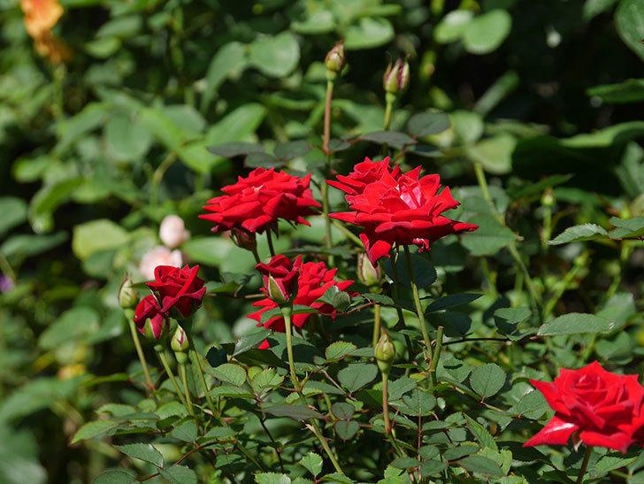 カリエンテ(Caliente)の夏花が咲いた。ミニバラ。2020年-002.jpg