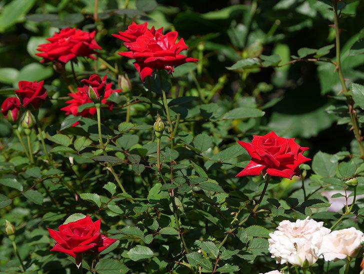 カリエンテ(Caliente)の夏花が咲いた。ミニバラ。2020年-003.jpg