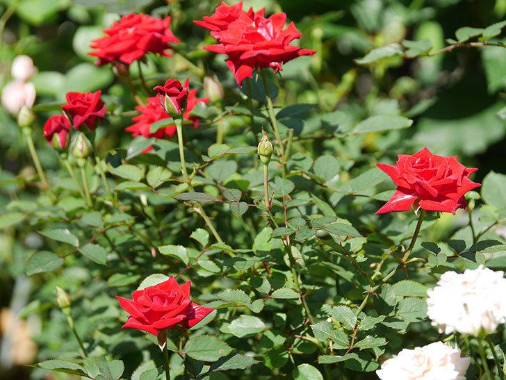 カリエンテ(Caliente)の夏花が咲いた。ミニバラ。2020年-004.jpg