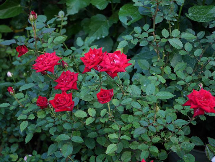 カリエンテ(Caliente)の夏花が咲いた。ミニバラ。2020年-007.jpg