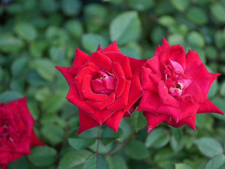 カリエンテ(Caliente)の夏花が咲いた。ミニバラ。2020年-008.jpg
