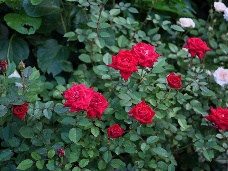 カリエンテ(Caliente)の夏花が咲いた。ミニバラ。2020年-015.jpg
