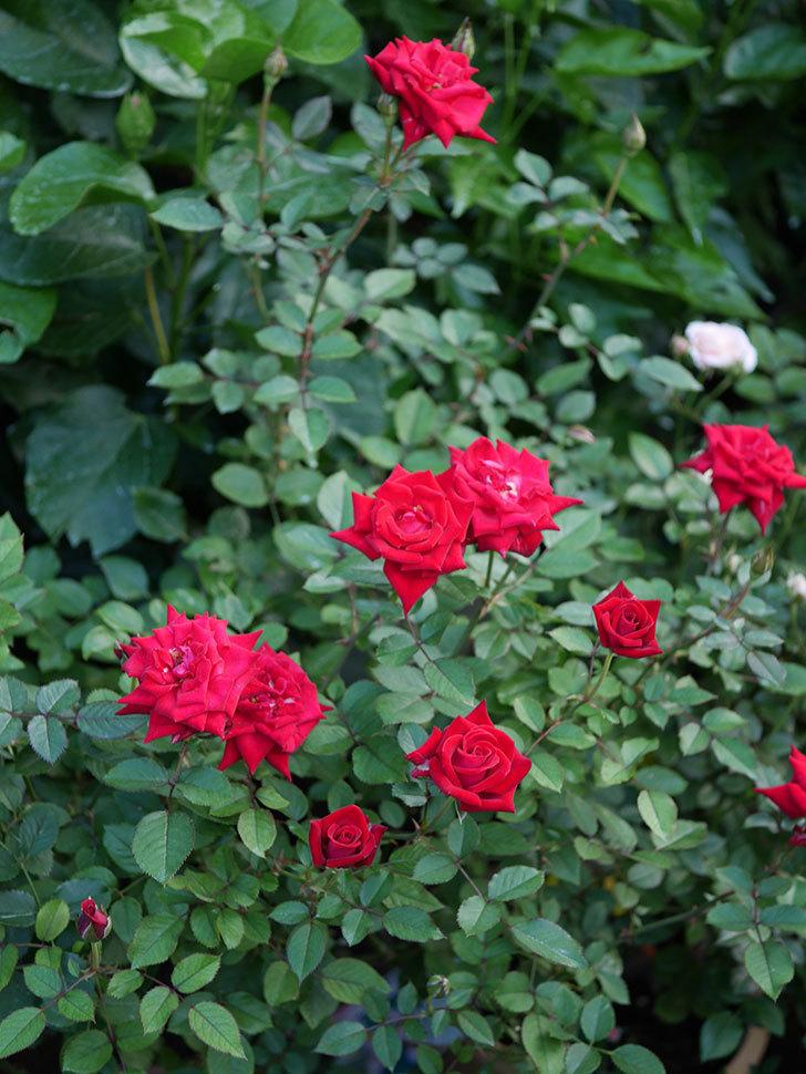 カリエンテ(Caliente)の夏花が咲いた。ミニバラ。2020年-016.jpg