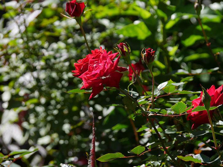 カリエンテ(Caliente)の秋花がたくさん咲いた。ミニバラ。2020年-008.jpg