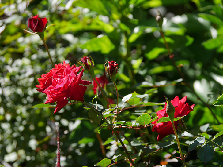 カリエンテ(Caliente)の秋花がたくさん咲いた。ミニバラ。2020年-009.jpg