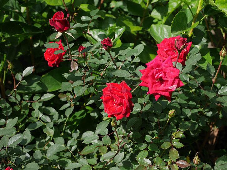 カリエンテ(Caliente)の秋花がたくさん咲いた。ミニバラ。2020年-016.jpg