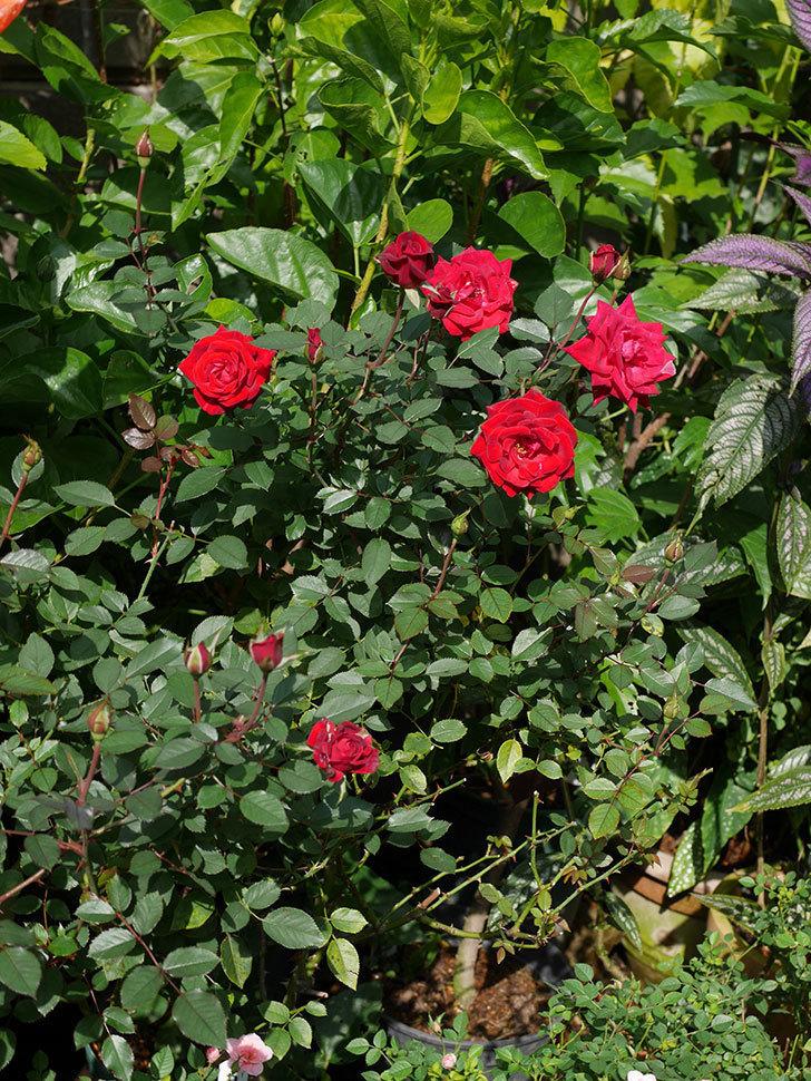 カリエンテ(Caliente)の秋花がたくさん咲いた。ミニバラ。2020年-024.jpg
