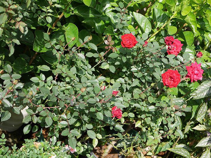 カリエンテ(Caliente)の秋花がたくさん咲いた。ミニバラ。2020年-025.jpg