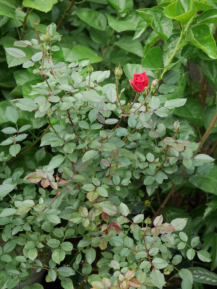 カリエンテ(Caliente)の秋花が咲いた。ミニバラ。2020年-006.jpg