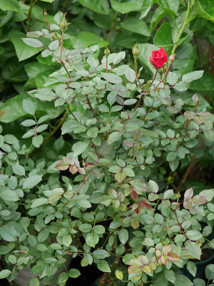 カリエンテ(Caliente)の秋花が咲いた。ミニバラ。2020年-007.jpg