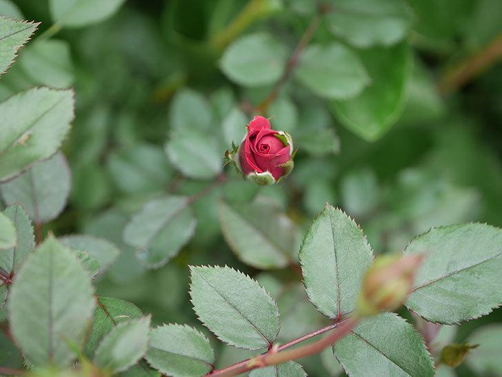 カリエンテ(Caliente)の秋花が咲いた。ミニバラ。2020年-011.jpg