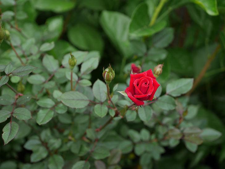 カリエンテ(Caliente)の秋花が咲いた。ミニバラ。2020年-012.jpg