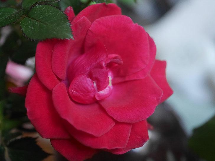 カリエンテ(Caliente)の花がまだ咲いている。ミニバラ。2021年1月-002.jpg