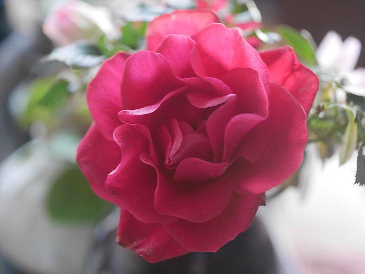 カリエンテ(Caliente)の花がまだ咲いている。ミニバラ。2021年1月-003.jpg
