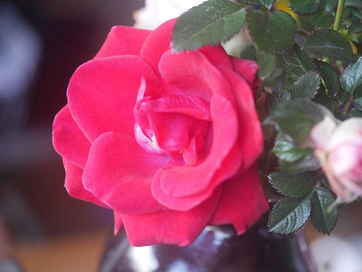 カリエンテ(Caliente)の花がまだ咲いている。ミニバラ。2021年1月-005.jpg