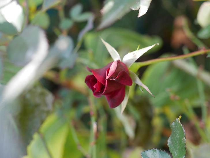 カリエンテ(Caliente)の花がまだ咲いている。ミニバラ。2021年1月-009.jpg