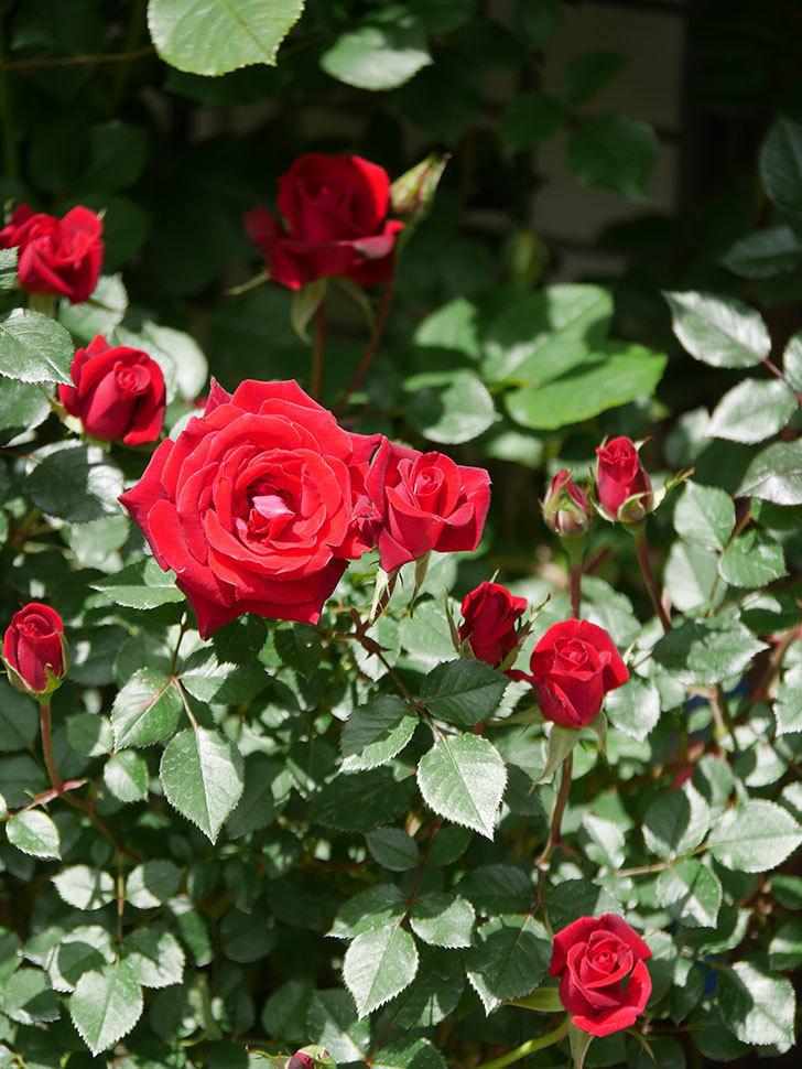 カリエンテ(Caliente)の花が咲いた。ミニバラ。2021年-036.jpg