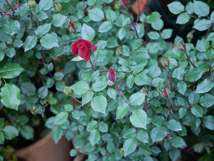 カリエンテ(Caliente)の花が少し咲いた。ミニバラ。2021年-001.jpg