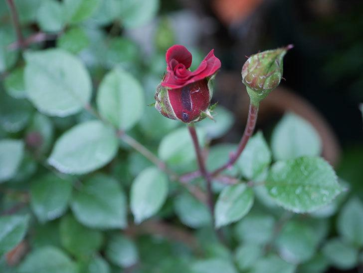 カリエンテ(Caliente)の花が少し咲いた。ミニバラ。2021年-004.jpg