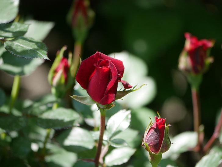 カリエンテ(Caliente)の花が少し咲いた。ミニバラ。2021年-006.jpg