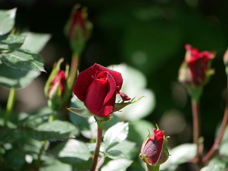 カリエンテ(Caliente)の花が少し咲いた。ミニバラ。2021年-007.jpg