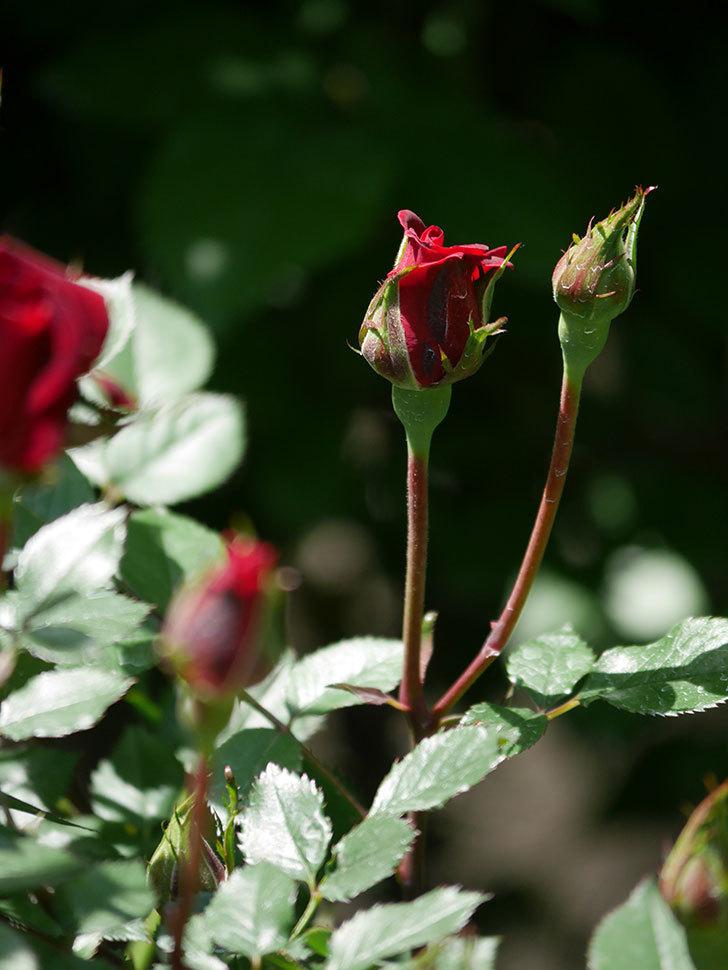 カリエンテ(Caliente)の花が少し咲いた。ミニバラ。2021年-009.jpg