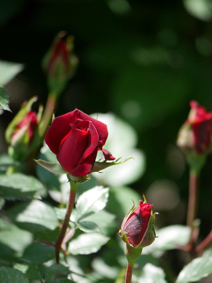 カリエンテ(Caliente)の花が少し咲いた。ミニバラ。2021年-011.jpg
