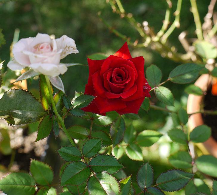 カリエンテ(ミニバラ)に2個目の秋花が咲いた。2016年-3.jpg