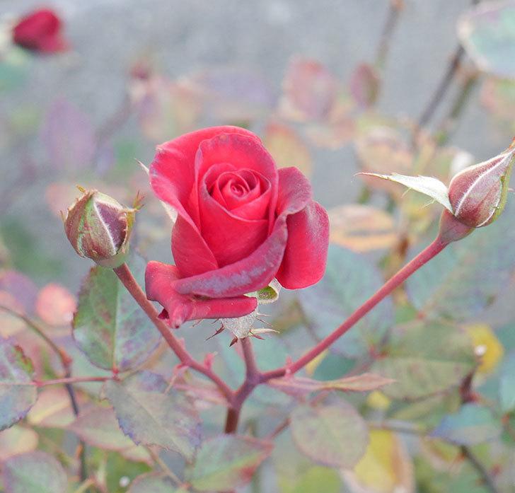 カリエンテ(ミニバラ)に大きめの花が咲いた。2019年-3.jpg
