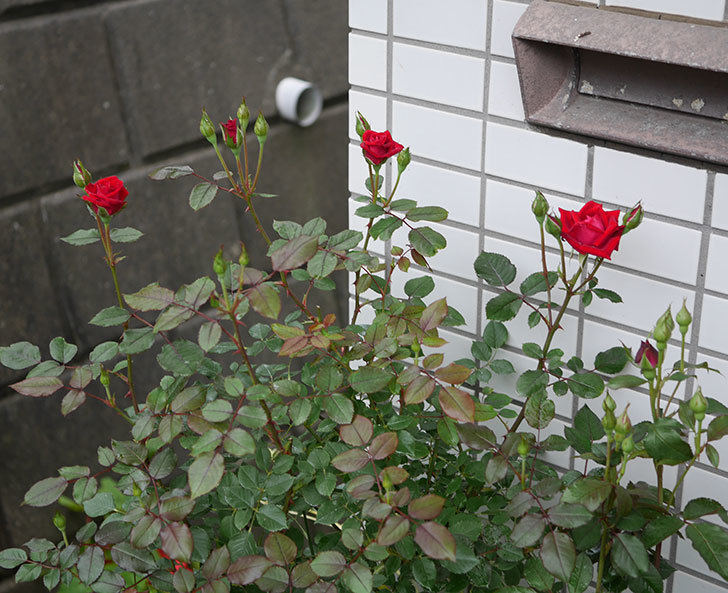 カリエンテ(ミニバラ)の2番花がまた咲いた。2019年-2.jpg