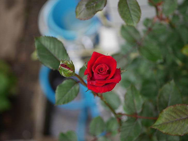 カリエンテ(ミニバラ)の2番花がまた咲いた。2019年-3.jpg