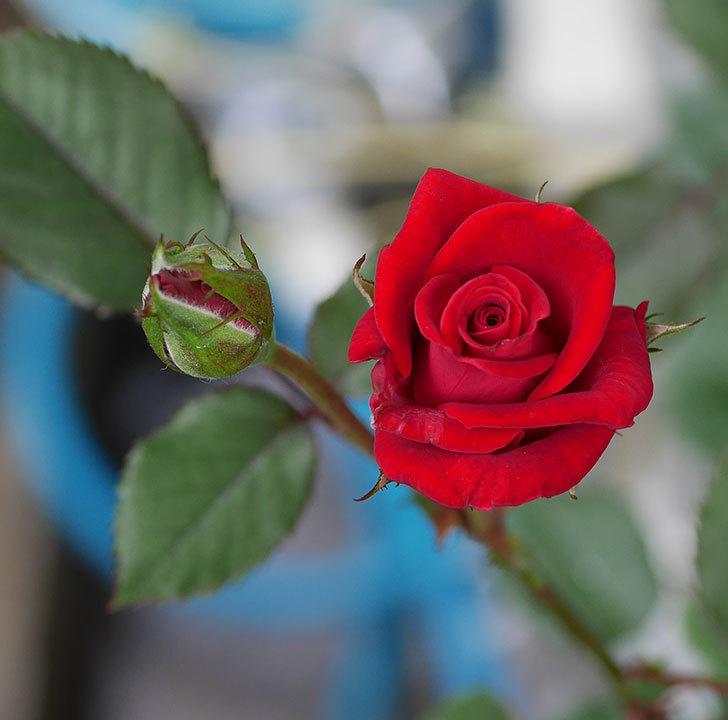 カリエンテ(ミニバラ)の2番花がまた咲いた。2019年-4.jpg