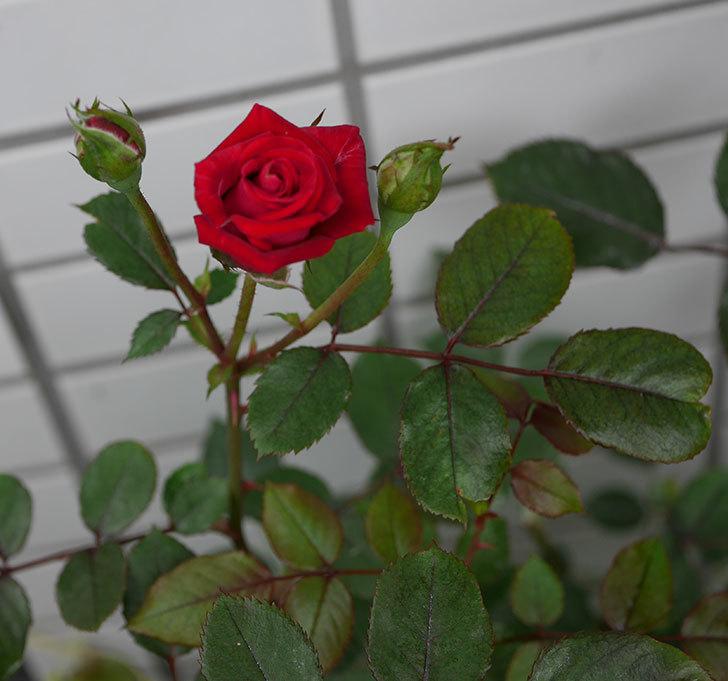 カリエンテ(ミニバラ)の2番花がまた咲いた。2019年-5.jpg