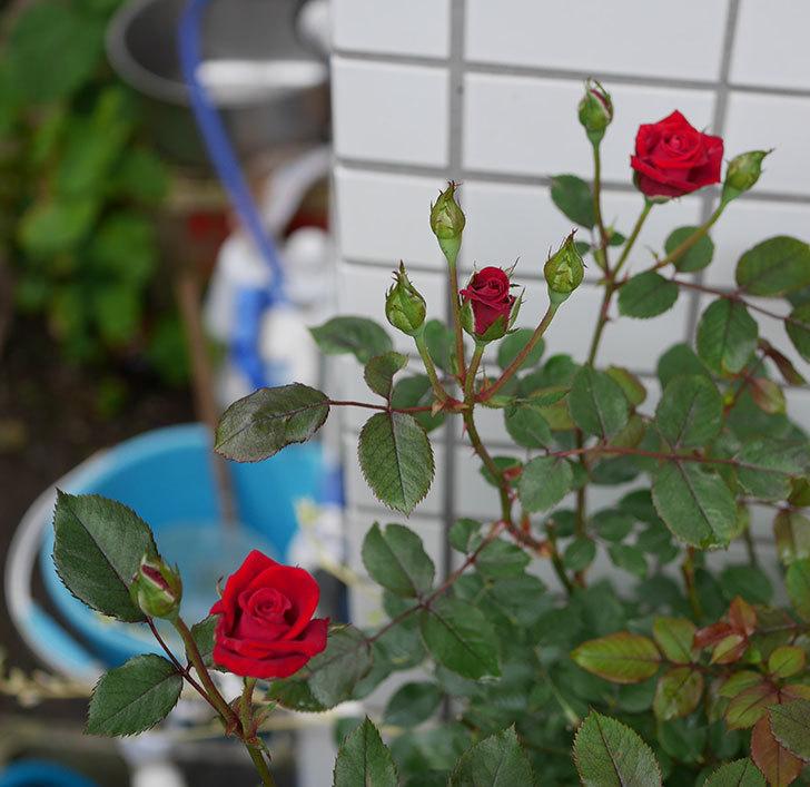 カリエンテ(ミニバラ)の2番花がまた咲いた。2019年-7.jpg