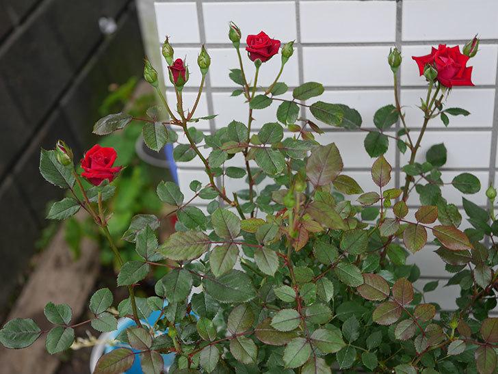 カリエンテ(ミニバラ)の2番花がまた咲いた。2019年-8.jpg