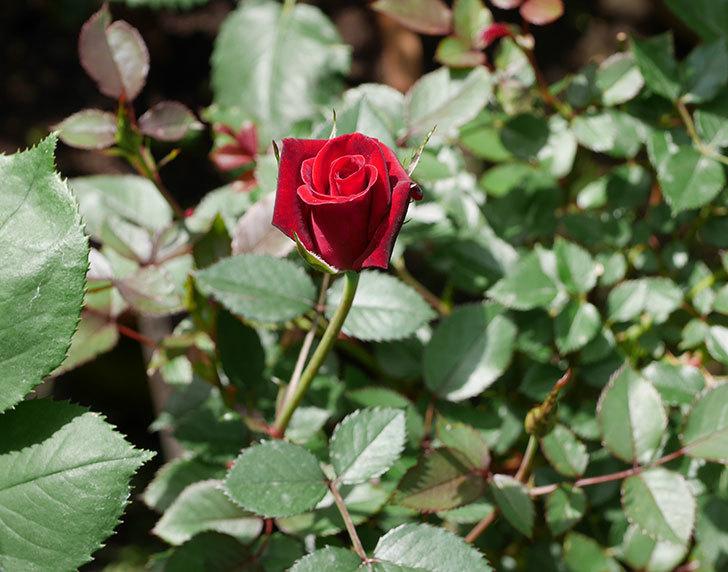カリエンテ(ミニバラ)の2番花が咲いた。2018年-1.jpg