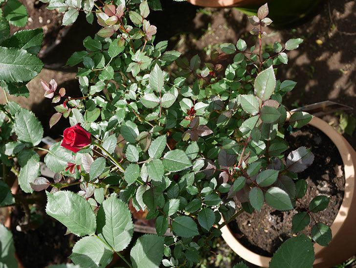カリエンテ(ミニバラ)の2番花が咲いた。2018年-4.jpg