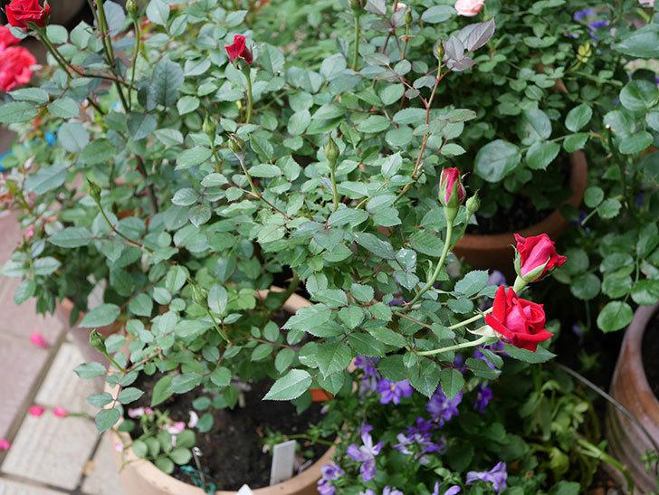 カリエンテ(ミニバラ)の2番花が咲いた。2018年-5.jpg