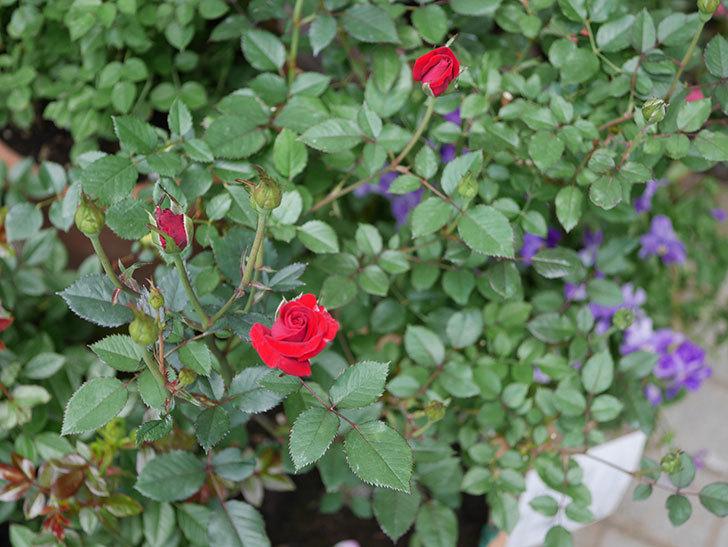 カリエンテ(ミニバラ)の2番花が咲いた。2018年-7.jpg
