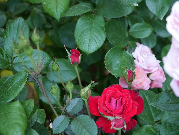 カリエンテ(ミニバラ)の2番花が咲いた。2019年-3.jpg