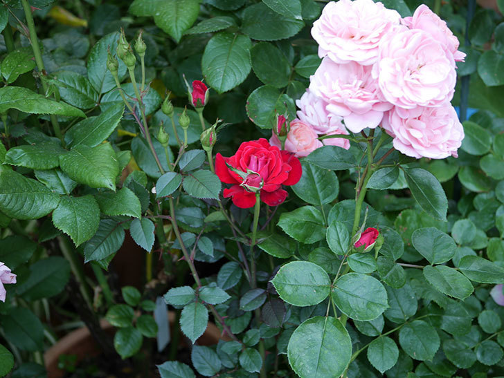 カリエンテ(ミニバラ)の2番花が咲いた。2019年-4.jpg